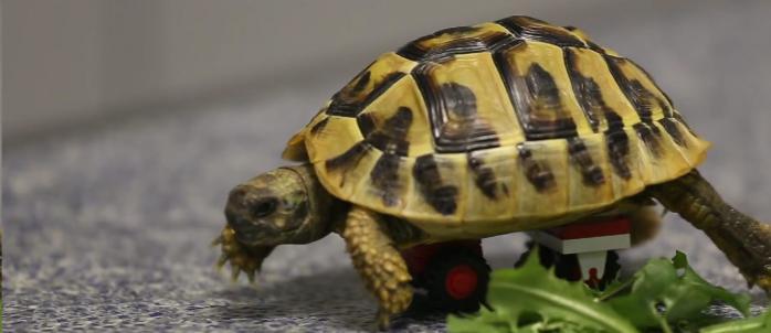 Черепаха на колесиках